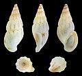 Rissoa membranacea var. labiosa 01.jpg