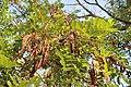 Robinia pseudoacacia. Alcacia (frutu).jpg