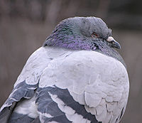 Rock Pigeon Columba livia Sleepy 2200px.jpg