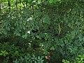 Rokycanská stráň, koruna stromu.jpg