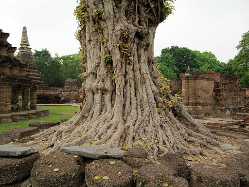 Roots of an old tree in Thailand
