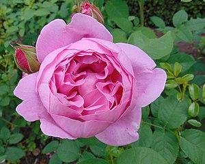 Rosa 'Mary Rose' 1.jpg