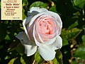 """Rosa """"André le Nôtre"""", """"Betty White"""" o MEIceppus. 02.jpg"""