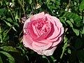 Rosa Gertrude Jekyll 2019-06-04 6181.jpg