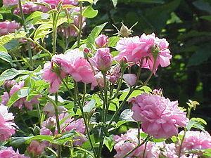 Rosa 'Ispahan' - Image: Rosa damascena 0