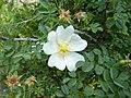 Rosa spinosissima inflorescence (05).jpg
