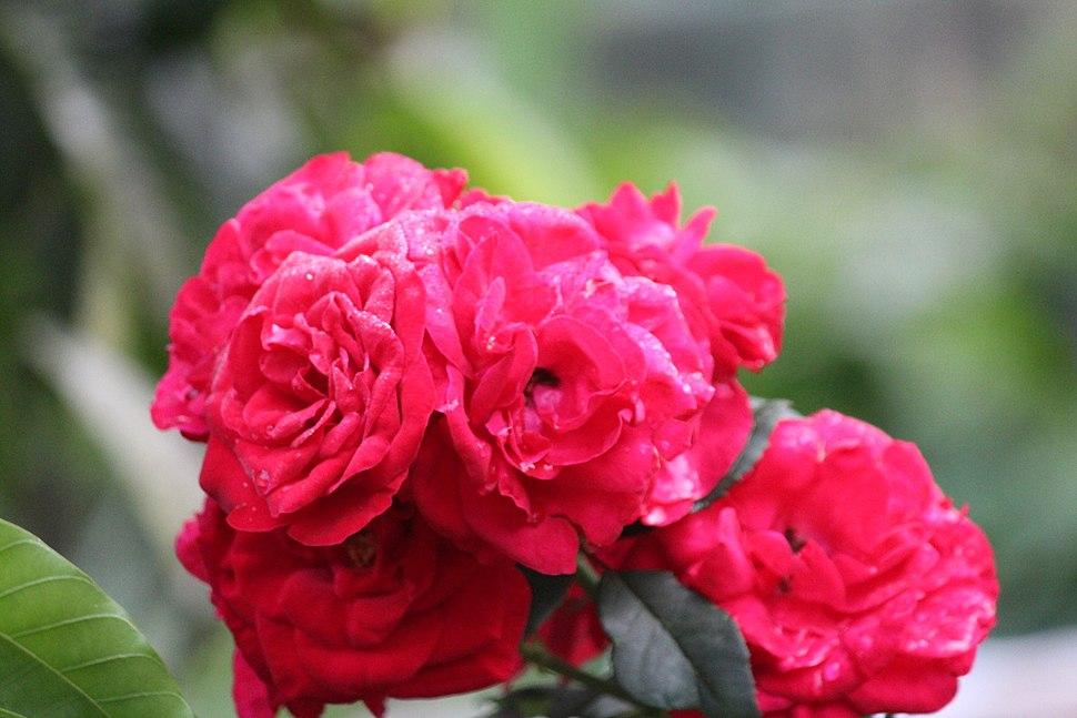 Rose flower in bundle