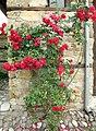 Roses in Bulgaria.jpg