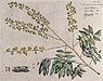 Rosewood tree (a species of Dalbergia); branch with flowers Wellcome V0042654.jpg