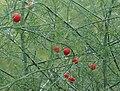 Rotebeerenasparagus.jpg