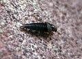 Rove beetle (fp) (5739237049).jpg