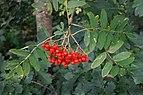 Rowan berries and leaves in August.jpg