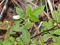 Rubus hirsutus (bud).JPG