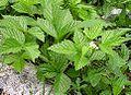 Rubus saxatilis 2006.06.27 16.05.29-p6270285.jpg