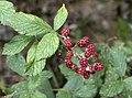 Rubus sp., Giresun 2018-08-20 1.jpg