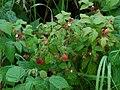 Rubus strigosus ARS-1.jpg