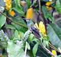 Rufous-tailed Hummingbird 3.jpg