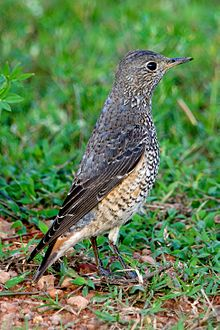 Rufous-tailed Rock Thrush Monticola saxatilis - 1st winter male - Side 1.jpg