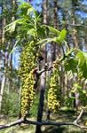 Ruhland, Grenzstraße, Wald gegenüber Hausnr. 2, Roteiche, Zweigspitze mit Blättern und Blüten, Frühling, 03.jpg