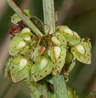 Rumex - Flowers of curled dock (R. crispus) with remarkable tubercles