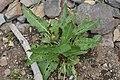 Rumex crispus in Jardin Botanique de l'Aubrac 04.jpg