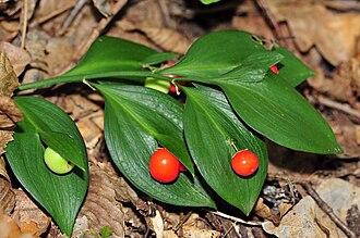 Ruscus - Ruscus hypoglossum