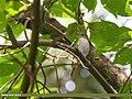 Rusty-tailed Flycatcher (Muscicapa ruficauda) (45695272215).jpg