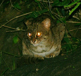 Rusty-spotted cat photographed in the Anaimalai Hills in southern India Rustyspottedcat, crop.jpg