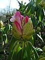 SDC11193 - Rhododendron sutchuenense.JPG