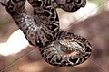 SNAKE SLENDER TREE BOA SURINAM AMAZONE SOUTH-AMERICA (32976530946).jpg