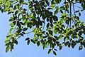 SZ 深圳 Shenzhen 鹽田區 Yantian District 深鹽路 Shenyan Road Greenway tree 樟樹 Cinnamomum camphora leaves Sept 2017 IX1 (1).jpg