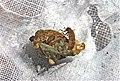 Saddle-case case-maker caddisfly larva (7234728290).jpg