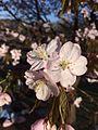 Sakura12.jpg