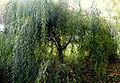 Salix chrysocoma (13).JPG