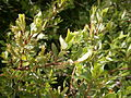 Salix foetida 001.JPG