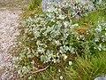 Salix lanata Cairn Gorm 01.jpg