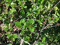 Salix x grahamii a1.jpg