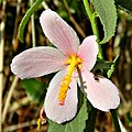 Salt Marsh Mallow (5817308611).jpg