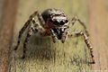 Salticidae spider with missing legs.JPG
