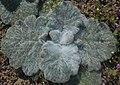 Salvia argentea 2016-04-17 7432.JPG