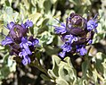 Salvia dorrii var clokeyi 12.jpg