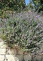 Salvia fruticosa kz6.jpg