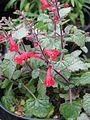 Salvia roemeriana (9113579287).jpg