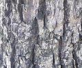 Sambucus nigra (4).JPG