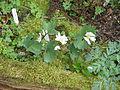 Sanguinaria canadensis (13624457323).jpg