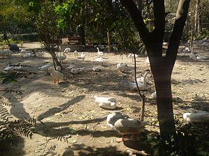Sanjay Lake - Ducks in Sanjay Lake Park, Delhi, India