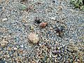Sao Tome Hermit Crabs 1 (15629057333).jpg