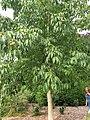 Sapindales - Aesculus flava - 1.jpg