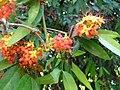 Saraca Indica fleurs Laos.jpg