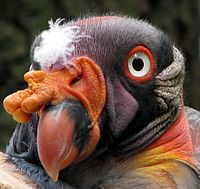 Sarcoramphus-papa-king-vulture-closeup-0a